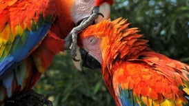 Bird Brains Have as Many Neurons as Some Primates