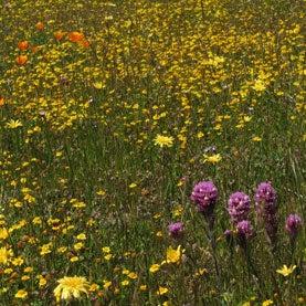 california-meadow