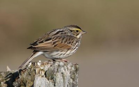 Wild Songbirds Can Pick Up New Tunes