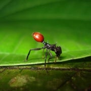 A BERRY SCARY ANT