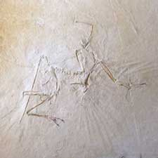 Archaeopteryx bone bird dinosaur