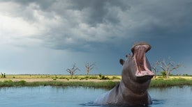 Teeth Tell Tale of Hippo's Quick Spread Across Africa