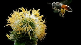 Widely Used Pesticide Is a Buzzkill for Honeybees