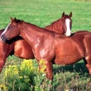 DNA Hints at Origins of Domestic Horses