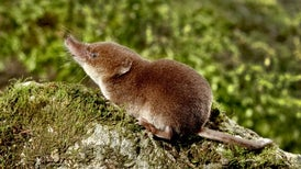 Small-Minded Strategy: The Common Shrew Shrinks Its Head to Survive Winter