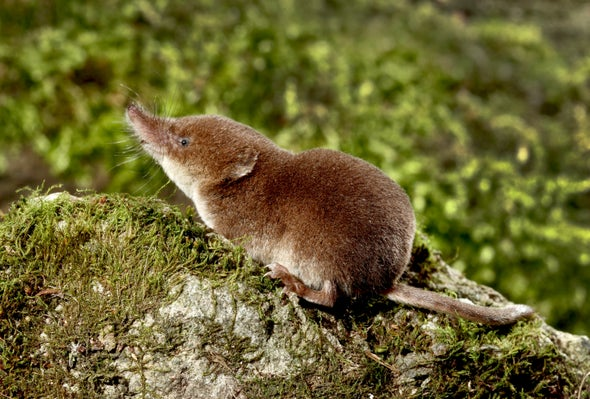 Small-Minded Strategy: The Common Shrew Shrinks Its Head to