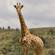 Giraffes Eat Bones--and Other Things I Learned on Safari [Slide Show]