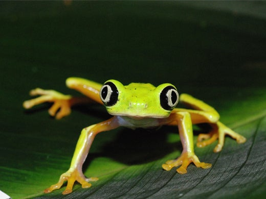 Fungus-Chomping Micro Predators Could Protect Amphibians from Deadly Skin Disease
