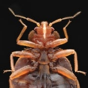 How Scientists Are Tackling the Bed Bug Nightmare