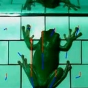 Frogs Cling to and Peel from Surfaces Just Like Adhesive Tape