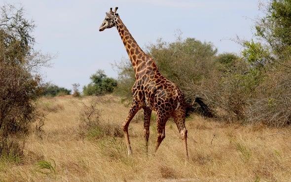 "Giraffes Suffer ""Silent Extinction"" in Africa"