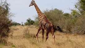 "Giraffes Suffer ""Silent Extinction"" in Africa"