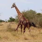 Giraffes Suffer