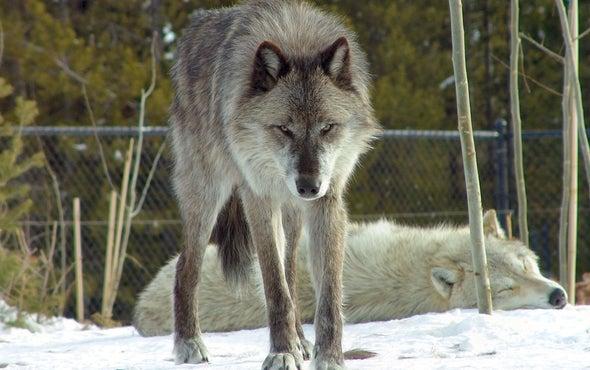 Washington State Begins Killing Wolves for Preying on Livestock