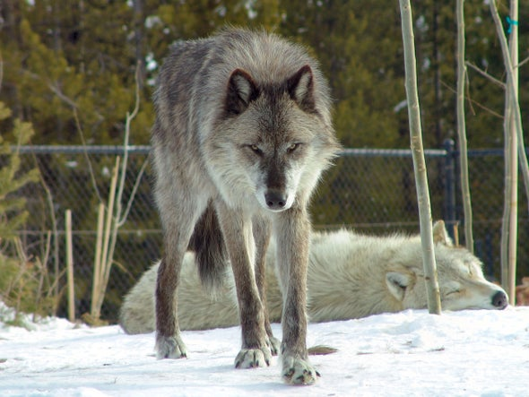 Washington State Begins Killing Wolves for Preying on Livestock