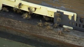 Landmine Detecting Bees Create a Buzz