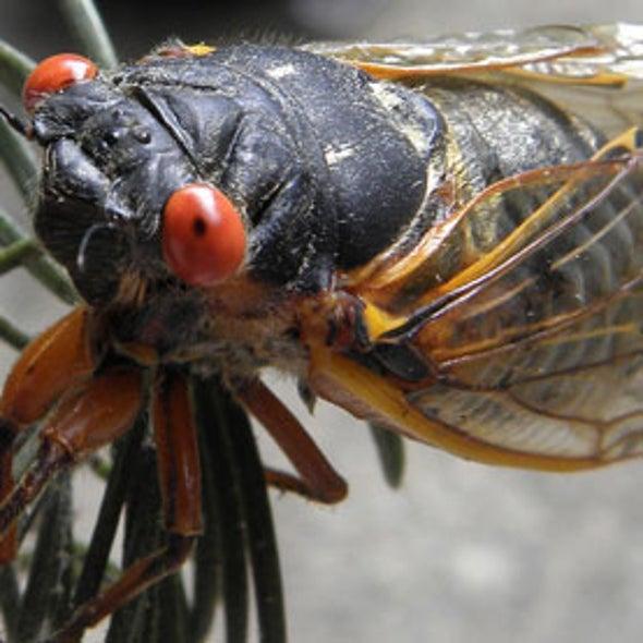 Deus ex Cicada: Are Predatory Bird Populations Influenced by Cicadas' Odd Life Cycles?