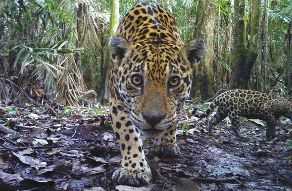 How the Jaguar Saved My Life [Excerpt]