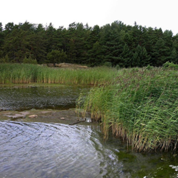 Smoking Weeds: Stopping Fast-Spreading, Invasive Reeds without Chemicals Takes Perseverance