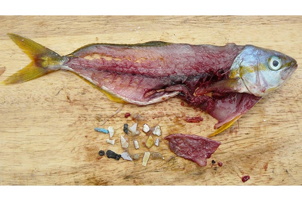 From Fish to Humans, A Microplastic Invasion May Be Taking a Toll