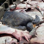 TURTLE BYCATCH: