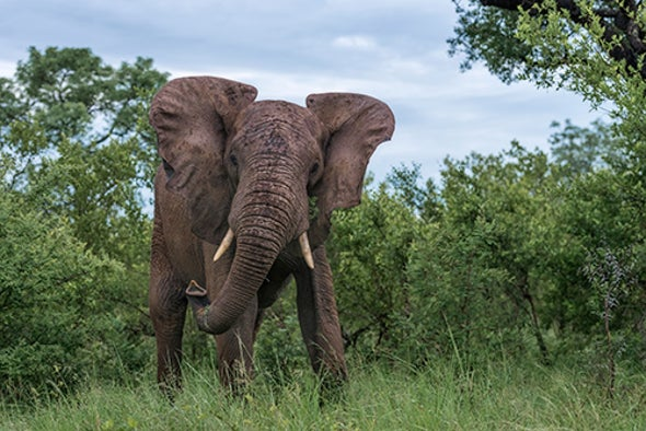 How Elephants Stay Cancer-Free