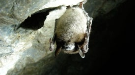 DNA May Hold Clues to Halt Westward Spread of Bat Mystery Disease
