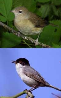 Migrations May Make Birds Brainier
