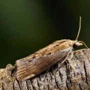 Moth Smashes Ultrasound Hearing Records