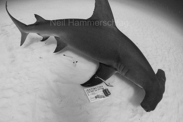 Scalloped Hammerheads Become First Shark Species on the U.S. Endangered Species List