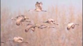 A Great Echelon of Birds