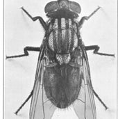 The Fly: