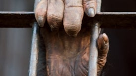Ban Chimp Testing
