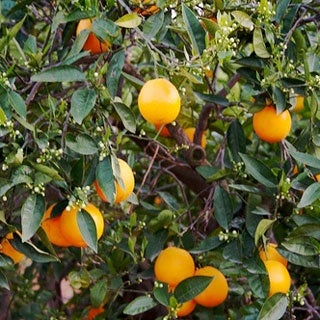 Insect is Turning Florida's Oranges Green