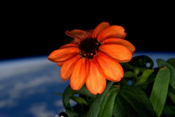 A Garden Grows in Space: First Zinnias Bloom, to an Astronaut's Delight