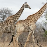Giraffes under Threat: Populations Down 40 Percent in Just 15 Years