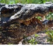 Endangered Cuban Crocodiles Are Losing Their Genetic Identity