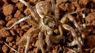 Sexual Cannibal Spiders May Have Poor Impulse Control