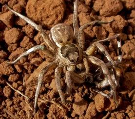 Iberian tarantula