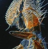 Proboscis of common housefly