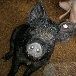 Why study pig odor?