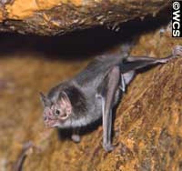 Vampire Bat Saliva Compound Could Help Treat Strokes