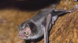 Vampire Bat Saliva Compound Could Help Treat Strokes