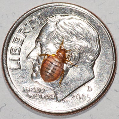 Types Of Bed Bugs That Fly
