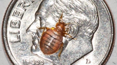 Bed Bugs Bite Scientific American