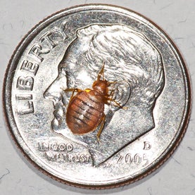 Is bed bugs asexual propagation