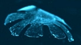 Artificial Jellyfish Built from Rat Cells