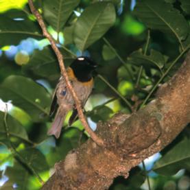 male-stitchbird