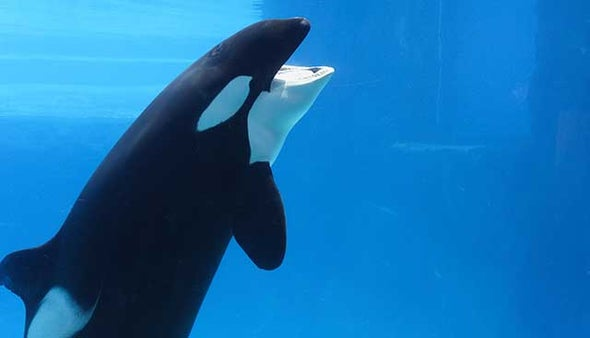 Will SeaWorld's Phasing Out Killer Whale Shows Make a Difference?