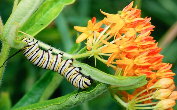 How Monarch Butterflies Evolved to Eat a Poisonous Plant